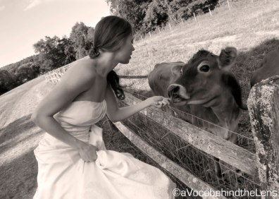 What country wedding would be complete without a cow?